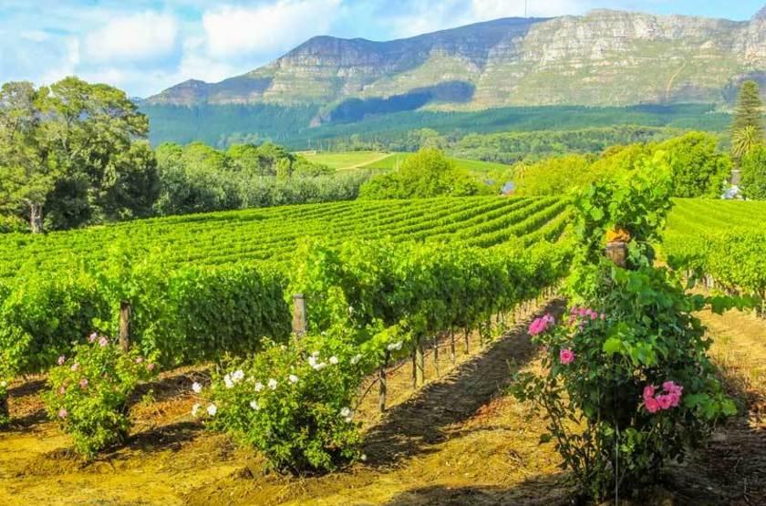 Vignes à Stellenbosch, Afrique du Sud