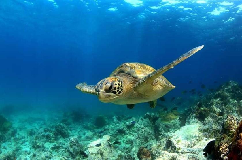 Tortue verte sous marine, Îles Galapagos