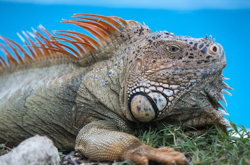 Iguane à Cozumel, Mexique